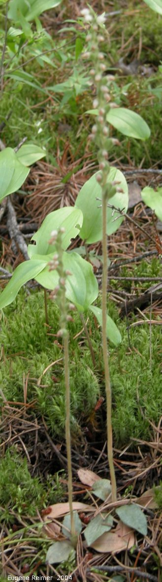 IMG 2004-Aug17 at near LewisBog:  Tessellated rattlesnake-orchid (Goodyera tesselata)