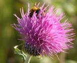 2004-Sep01 at Rosa region:  Flodmans thistle (Cirsium flodmanii) with Bumblebee (Bombus sp)