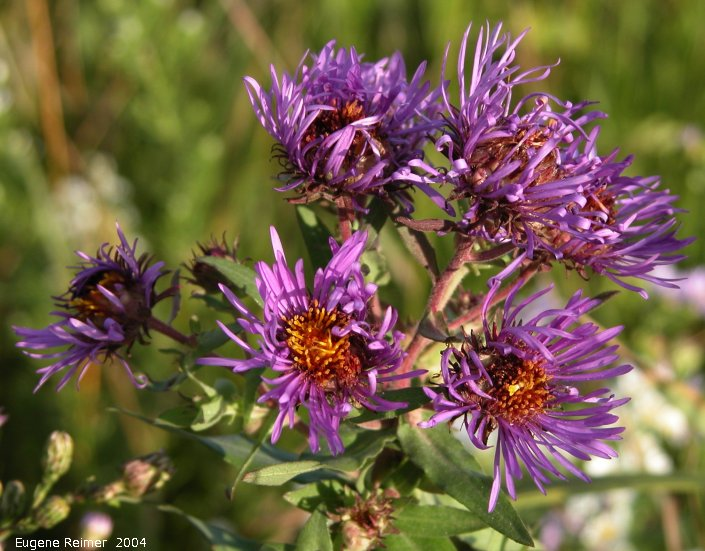 IMG 2004-Sep01 at Rosa region:  Western silvery aster (Symphyotrichum sericeum)? flowers