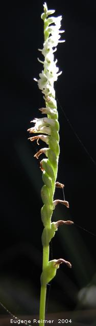 IMG 2004-Sep16 at PTH15 near Contour:  Slender ladies-tresses (Spiranthes lacera var lacera) pods and flowers