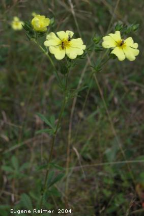 IMG 2004-Sep16 at LewisRd:  Rough-seeded cinquefoil (Potentilla recta)