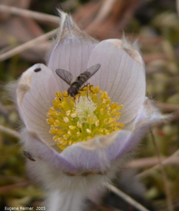 IMG 2005-May05 at ForestryRd-29:  Bee-fly (Bombyliidae sp) on Prairie crocus (Anemone patens)