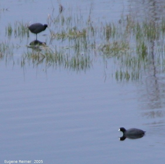 IMG 2005-May13 at Winnipeg:  American coot (Fulica americana)