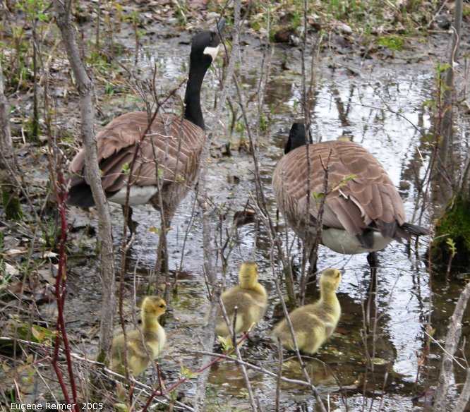 IMG 2005-May19 at Fort Whyte:  Canada goose (Branta canadensis) with goslings