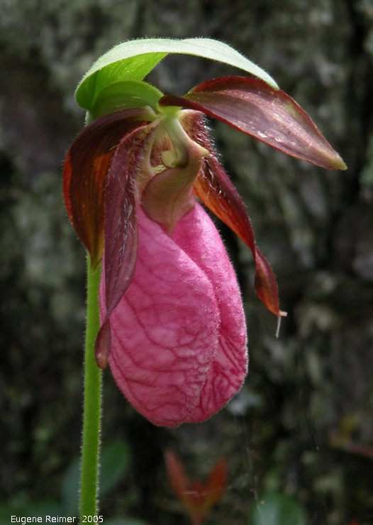 IMG 2005-Jun11 at Contour:  Moccasin ladyslipper (Cypripedium acaule) flower