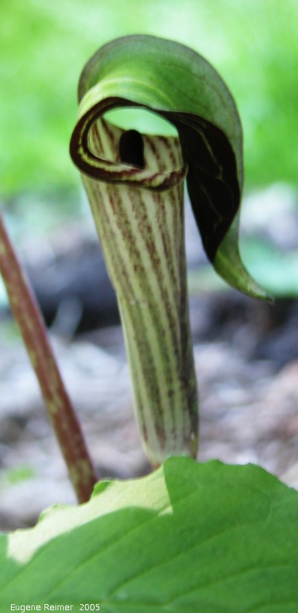 IMG 2005-Jun12 at Winnipeg:  Jack-in-the-pulpit (Arisaema triphyllum) from Williams Garden Club 2003 flower
