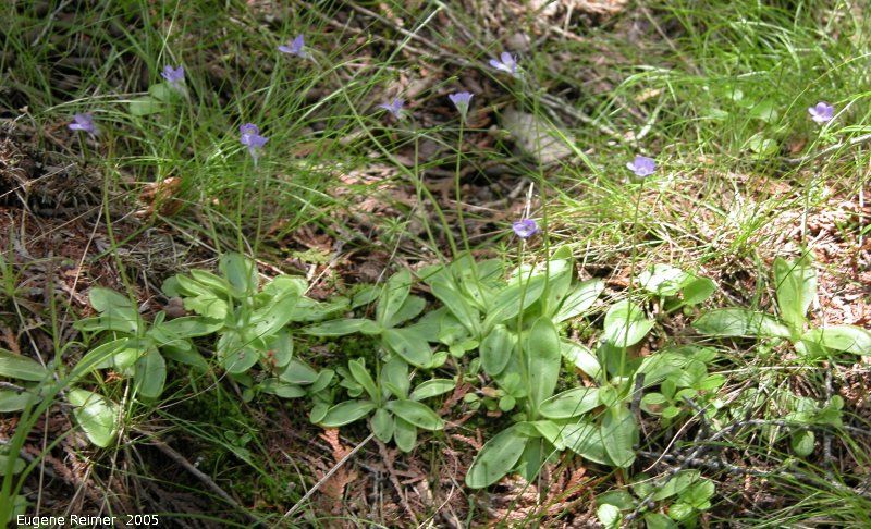 IMG 2005-Jun16 at BrokenheadWetlands:  Butterwort (Pinguicula sp) clump