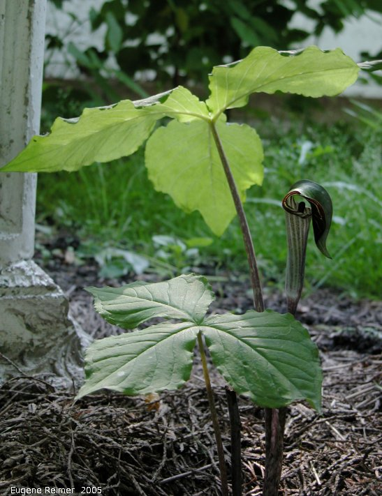 IMG 2005-Jun17 at Iris's backyard:  Jack-in-the-pulpit (Arisaema triphyllum) from Williams Garden Club 2003 plant