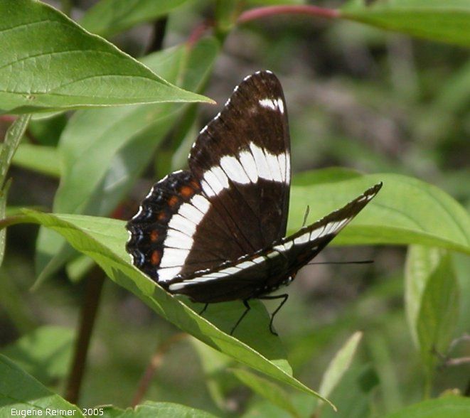 IMG 2005-Jun28 at PineFalls:  White admiral butterfly (Limenitis arthemis)