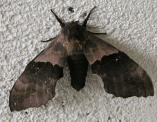 2005-Jun29 at Bissett and Bissett-Dump:  Poplar-hawk-moth (Laothoe populi)
