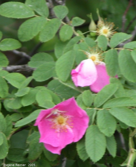 IMG 2005-Jun29 at Bissett and Bissett-Dump:  Prickly rose (Rosa acicularis) with Insect (Insecta sp)