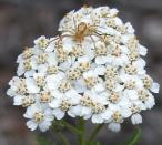 2005-Jun29 at PR304 near WallaceLake:  Crab spider (Thomisidae sp) on Yarrow (Achillea sp)