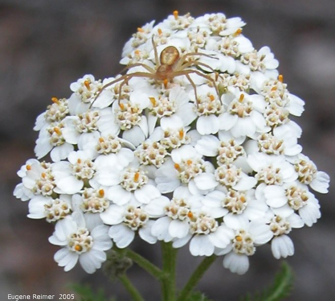 IMG 2005-Jun29 at PR304 near WallaceLake:  Crab spider (Thomisidae sp) on Yarrow (Achillea sp)