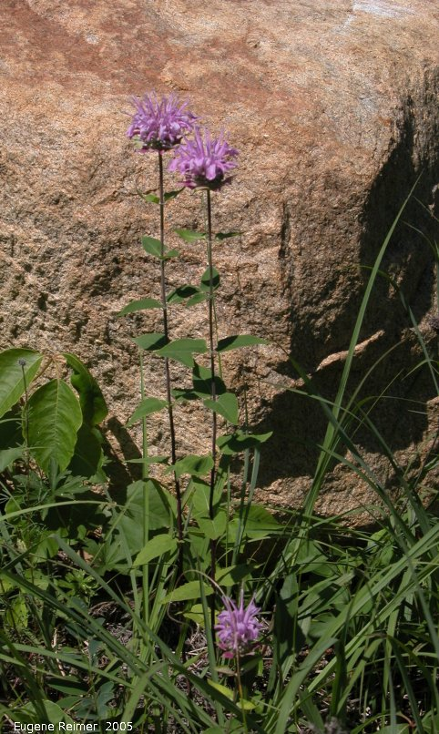 IMG 2005-Jul12 at vicinity of Road39E and PR317:  Bergamot (Monarda fistulosa) plants with rock background