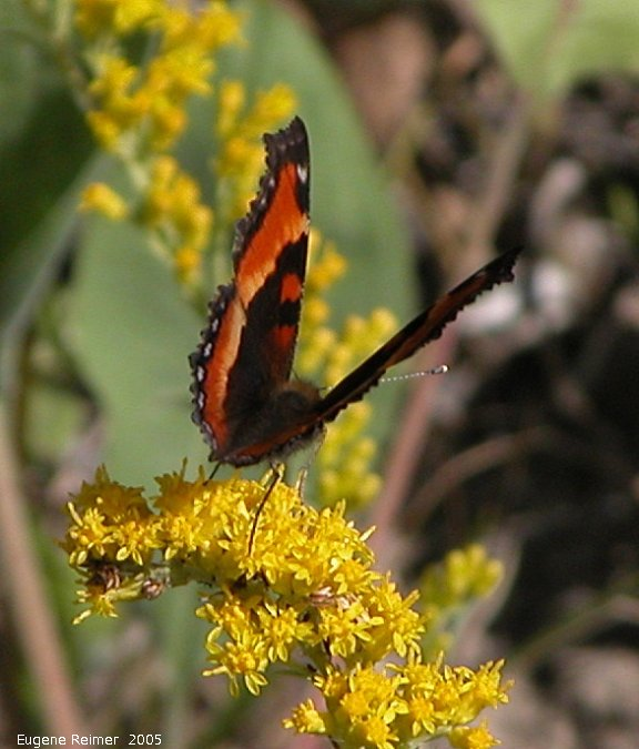 IMG 2005-Aug13 at the newly restored suspension foot-bridge near Senkiw:  Milberts tortoiseshell butterfly (Aglais milberti) on Goldenrod (Solidago sp)