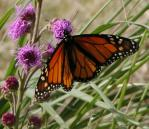 2005-Aug13 at SenkiwRoad:  Monarch butterfly (Danaus plexippus) on Meadow blazing-star (Liatris ligulistylis)