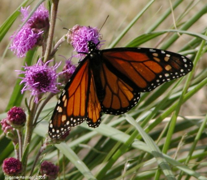 IMG 2005-Aug13 at SenkiwRoad:  Monarch butterfly (Danaus plexippus) on Meadow blazing-star (Liatris ligulistylis)