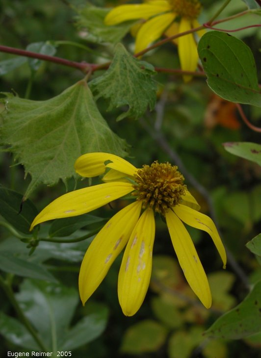 IMG 2005-Aug27 at SenkiwBridge:  Green-headed coneflower (Rudbeckia lacinata)