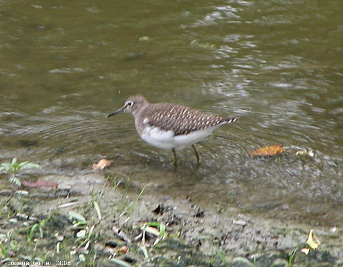 IMG 2005-Sep10 at Bunn's Creek:  Spotted sandpiper (Actitis macularius)
