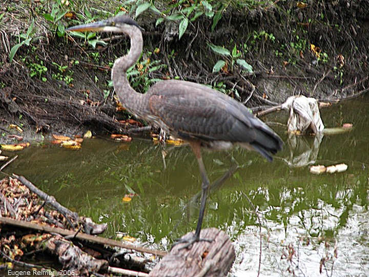 IMG 2005-Sep10 at Bunn's Creek:  Great blue heron (Ardea herodias)