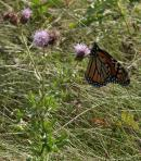 2005-Sep11 at Living Prairie Museum:  Monarch butterfly (Danaus plexippus) female on Canada thistle (Cirsium arvense)