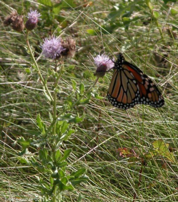 IMG 2005-Sep11 at Living Prairie Museum:  Monarch butterfly (Danaus plexippus) female on Canada thistle (Cirsium arvense)