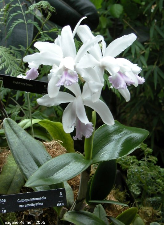 IMG 2006-Mar24 at the MOS Orchid-Show:  Amethyst-variety intermediate cattleya (Cattleya intermedia var amethystina)