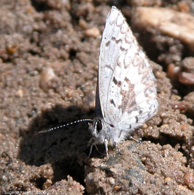 IMG 2006-May06 at RiverRd-N-S:  Blue butterfly (Polyommatinae sp)