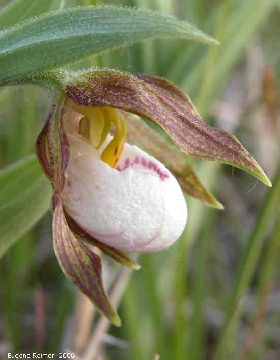 IMG 2006-May19 at Lake Francis near St Laurent:  Small white ladyslipper (Cypripedium candidum) flower