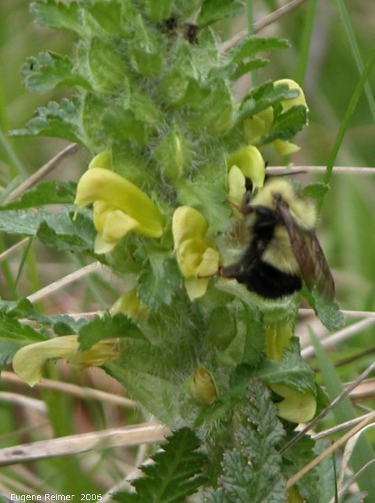 IMG 2006-May24 at Senkiw Bridge:  Bumblebee (Bombus sp) on Canadian lousewort (Pedicularis canadensis)