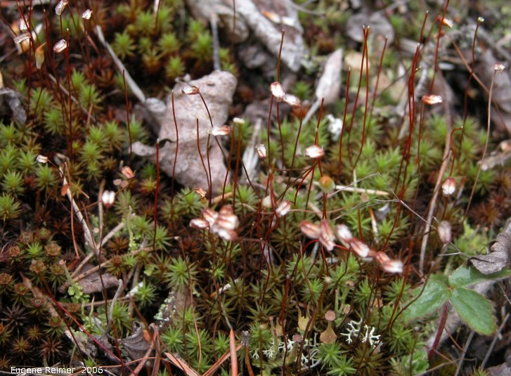 IMG 2006-May28 at Ochre Lake Rd N of GrandRapids:  Haircap moss (Polytrichum sp)
