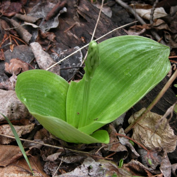 IMG 2006-May28 at Ochre Lake Rd N of GrandRapids:  Round-leaved rein-orchid (Platanthera orbiculata) in bud