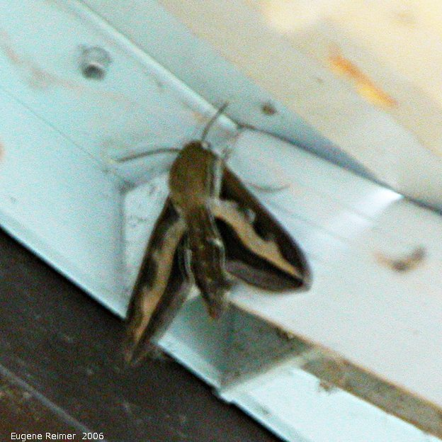 IMG 2006-Jun02 at SunsetBlvd:  White-lined sphinx-moth (Hyles lineata) or hawk-moth