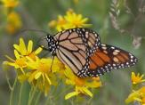 2006-Jun09 at Woodridge:  Monarch butterfly (Danaus plexippus) on Ragwort (Senecio sp)