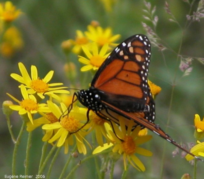 IMG 2006-Jun09 at Woodridge:  Monarch butterfly (Danaus plexippus) on Ragwort (Senecio sp)