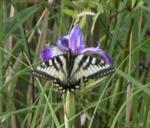 2006-Jun12 at PR503:  Tiger swallowtail butterfly (Papilio glaucus) female white-and-black form on Blue-flag iris (Iris versicolor)
