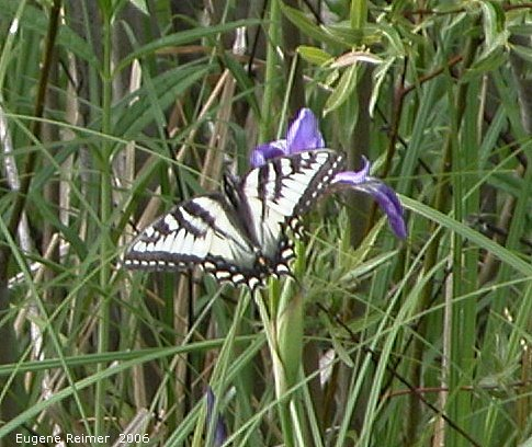 IMG 2006-Jun12 at PR503:  Tiger swallowtail butterfly (Papilio glaucus) female white-and-black form on Blue-flag iris (Iris versicolor)