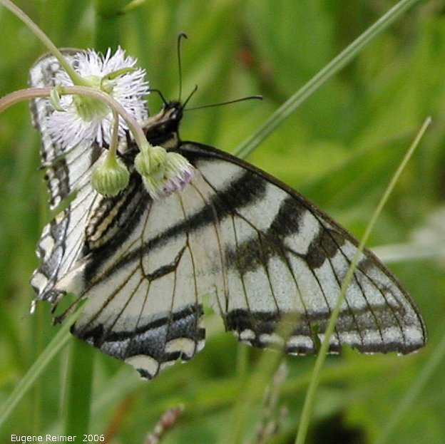 IMG 2006-Jun12 at PR503:  Tiger swallowtail butterfly (Papilio glaucus) female white-and-black form on Fleabane (Erigeron sp)