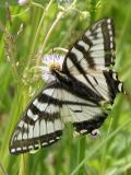 2006-Jun12 at PR503:  Tiger swallowtail butterfly (Papilio glaucus) female white-and-black form on Fleabane (Erigeron sp)