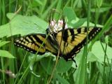 2006-Jun19 at MilnerRidge:  Tiger swallowtail butterfly (Papilio glaucus) from above