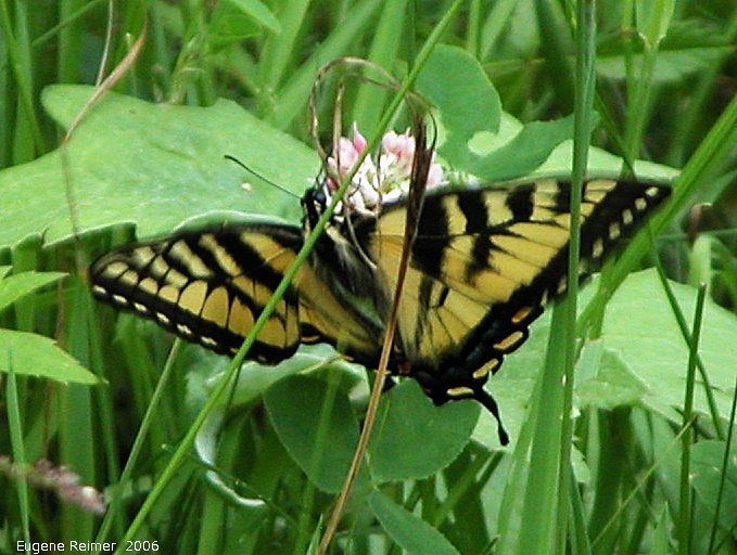 IMG 2006-Jun19 at MilnerRidge:  Tiger swallowtail butterfly (Papilio glaucus) from above