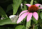 2006-Jul22 at Nora & Birnie Reid's garden:  Cabbage white butterfly (Pieris rapae) on Echinacea (Echinacea sp)