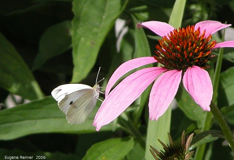 IMG 2006-Jul22 at Nora & Birnie Reid's garden:  Cabbage white butterfly (Pieris rapae) on Echinacea (Echinacea sp)