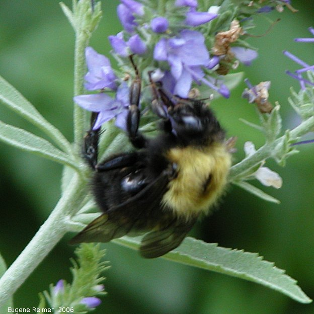 IMG 2006-Jul22 at Denys & Lillian's garden:  Bumblebee (Bombus sp) on unidentified