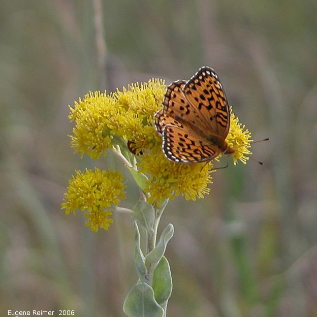 IMG 2006-Aug08 at ForestryRd#4:  Great-spangled fritillary (Speyeria cybele) on Goldenrod (Solidago sp)