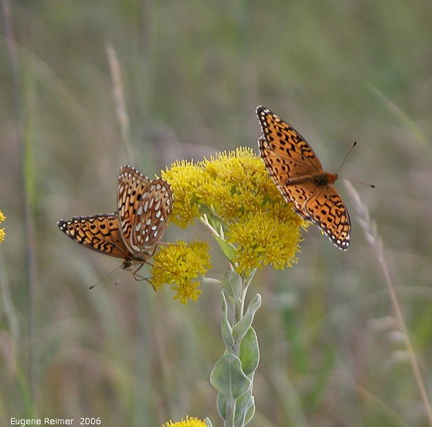 IMG 2006-Aug08 at ForestryRd#4:  Great-spangled fritillary (Speyeria cybele) male left female right on Goldenrod (Solidago sp)