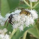 2006-Aug08 at ForestryRd#4:  Hornet (Vespa sp) + Yellow-jacket (Vespula sp) on Boneset (Eupatorium perfoliatum)