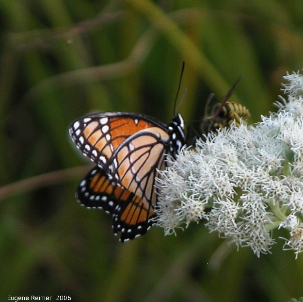 IMG 2006-Aug08 at ForestryRd#4:  Viceroy butterfly (Limenitis archippus) on Boneset (Eupatorium perfoliatum)