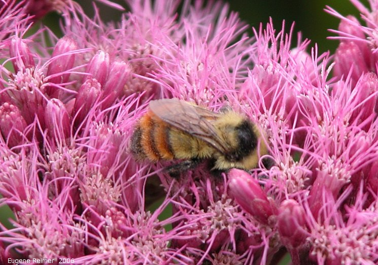 IMG 2006-Aug17 at PTH15:  Orange-rumped bumblebee (Bombus melanopygus) on Joe-Pye weed (Eupatorium purpureum)