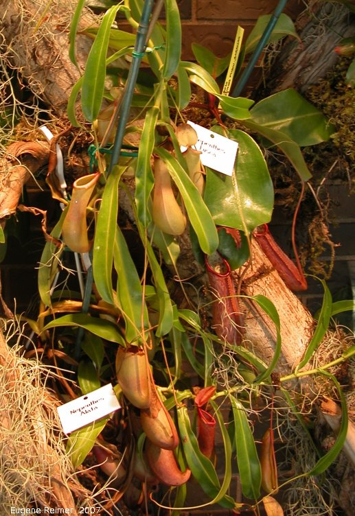 IMG 2007-Mar14 at Assiniboine Park Conservatory:  Alata monkey-cups (Nepenthes alata) closer